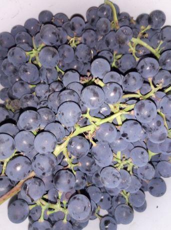 Виноград синий продам
