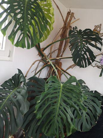 Filodendron planta
