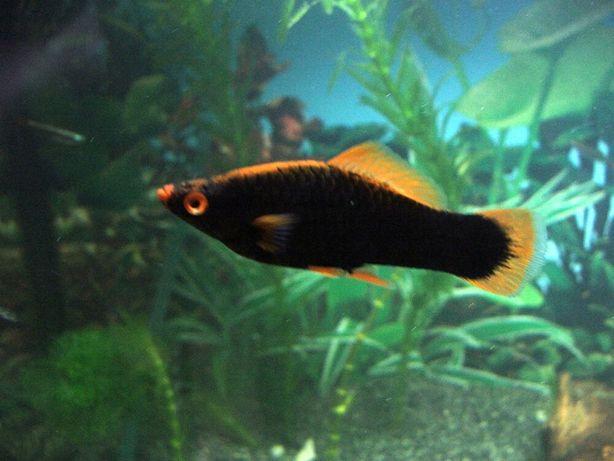 Аквариум рыбки продается разные Гуппи Меченосцы черный Пецилия нион