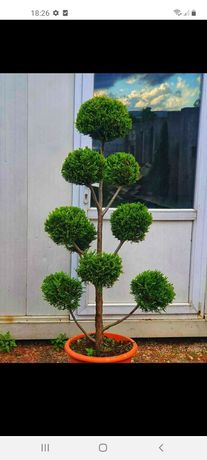 Plante ornametale