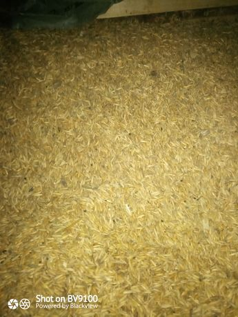 Cereale:) grau ovăz graunte