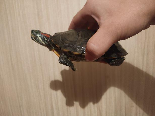 Черепаха красноухая водная