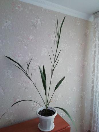 продам комнатный цветок финиковую пальму