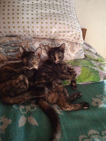 Кошечки ,всего 4 мес.,здоровы,домашние, мышеловы наследственные