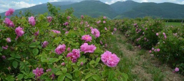 Plante de vânzare rosa damascena