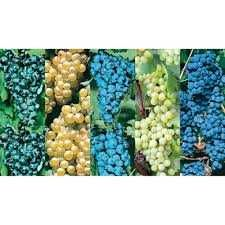 Struguri pentru vin din vita nobila sau must - origine Dobra - SM