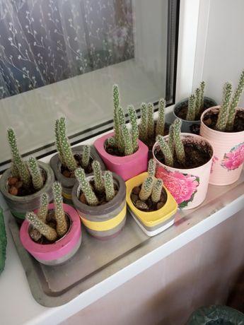 Цветок кактус для дома и офиса