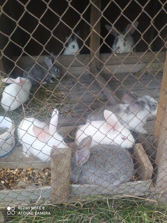 Продам кролики великаны
