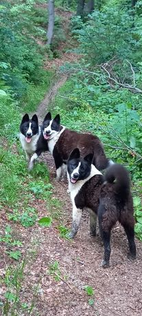 Câini de vânătoare karelian