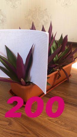 Продам комнатнае домашние цветы отростки 200 тг.