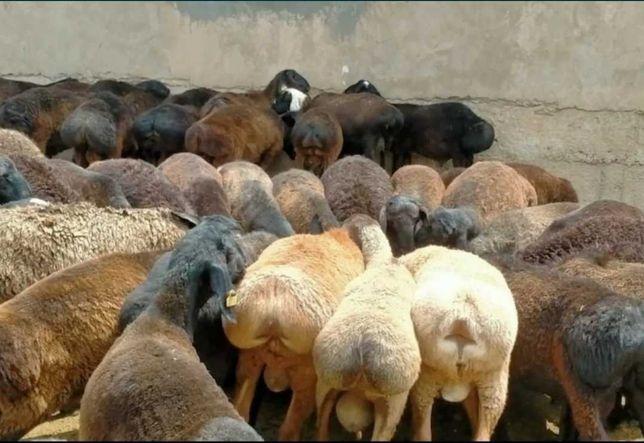 Бараны овцы ягнята гисарские романовские меринос дорпер