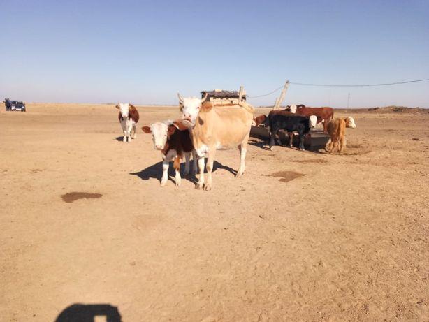Сиыр бұзауымен, корова с теленком