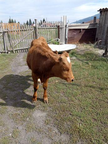 Продам теленка !