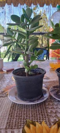 Plante ornamentale copacul casei
