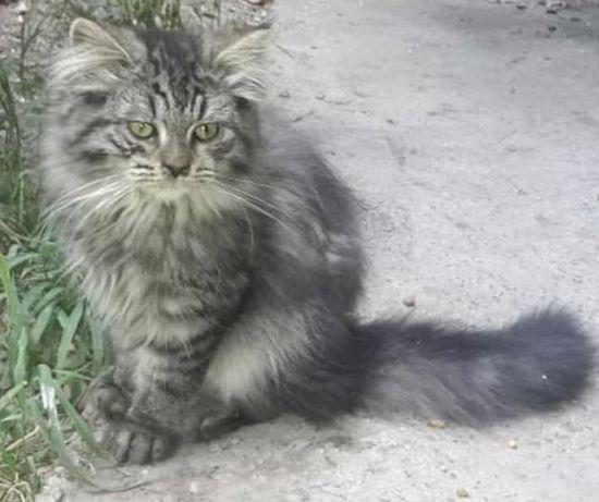Котёнок сибирский мальчик