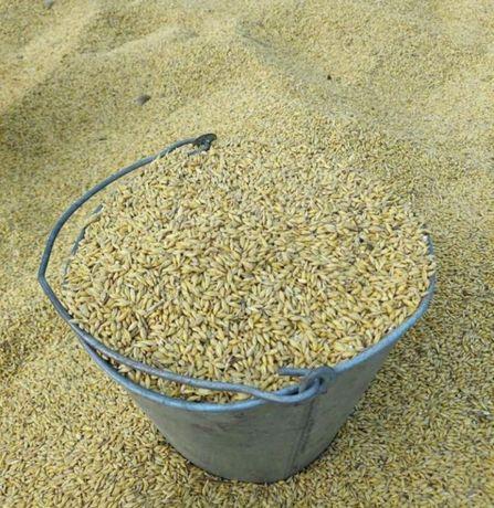 Ячмень зерно кукуруза