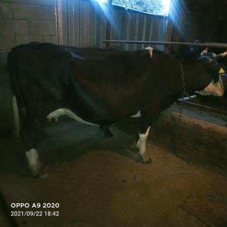 Продам крупную глубоко стесльную корову