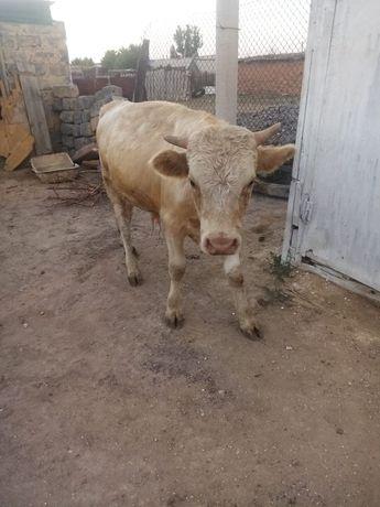 Продаи бык (бука)
