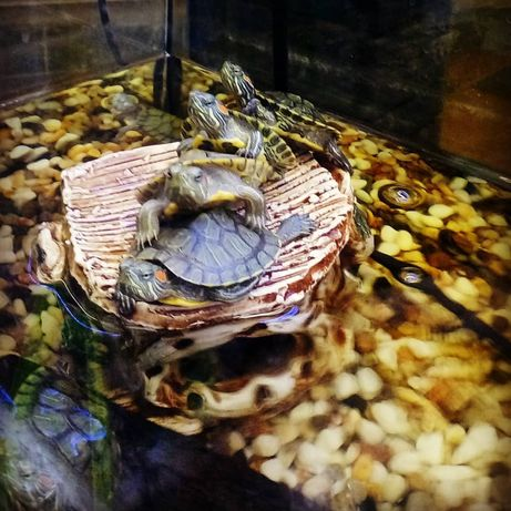 Черепаха водяная красноухая