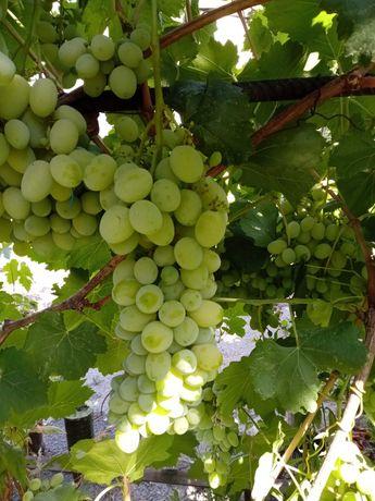 Продам вегетирующие Саженцы винограда столовых и технических сортов.