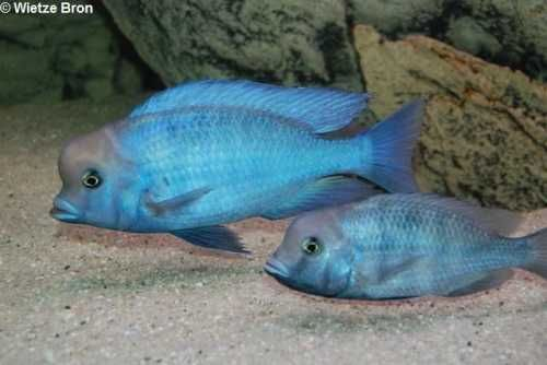 голубой дельфин мальки
