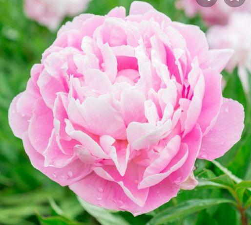 Корни пиона розового цвета