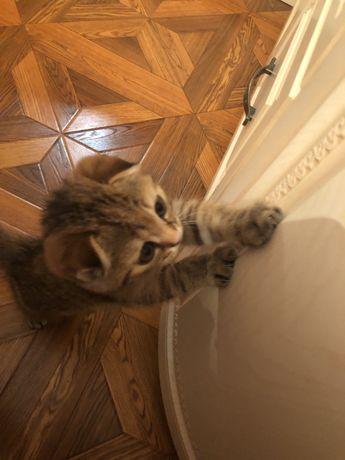 Котята скоттиш фолд