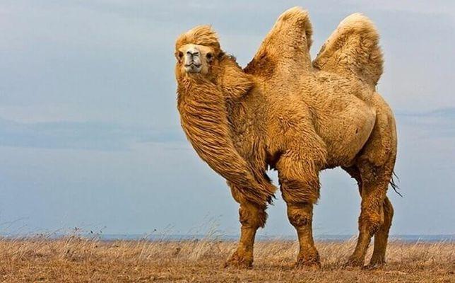 Верблюд, верблюжонок СРОЧНО продажа