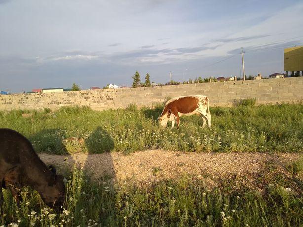 Продам корову в Нур султане