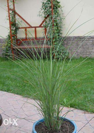 iarba de pampas alba