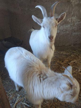 Заанинская коза ..с козленком...