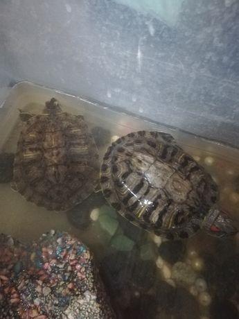 Продам черепахи красноухи