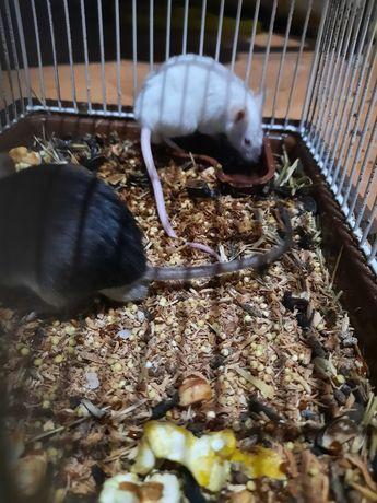 Продам двух сатиновых мышей.
