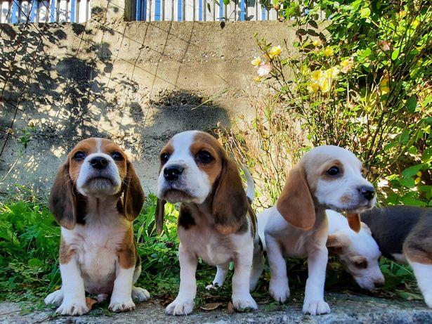 Puiuți beagle rasă pură
