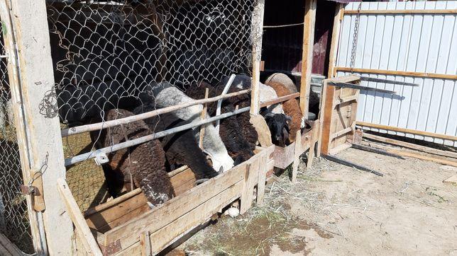 Взлеткада қой тоқты овец