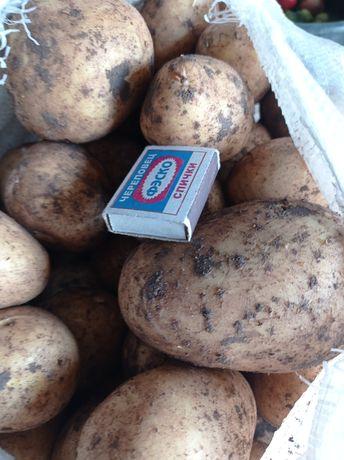 Картофель крупный, отборный, сорт Гала.