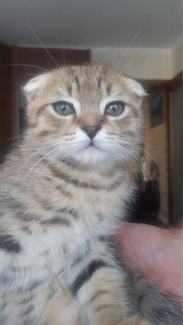 Продам породистых вислоухих котят
