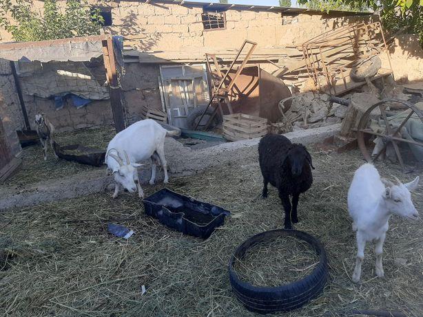 Продам козы заннеская породы