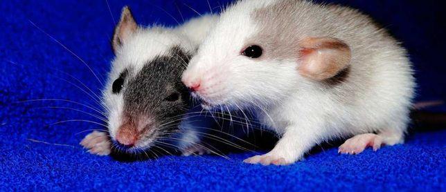 Крысы декоративные У-Ка