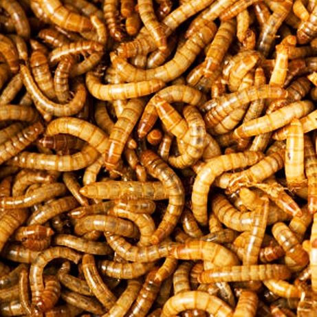Viermi de faina (mealworms) hrana pentru reptile, arici, pasari,pesti