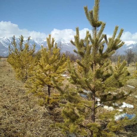 Продам хвойные деревья , лучшего качества в Алматы