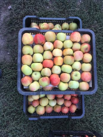 Алма,  яблоки. Сорт Делела.