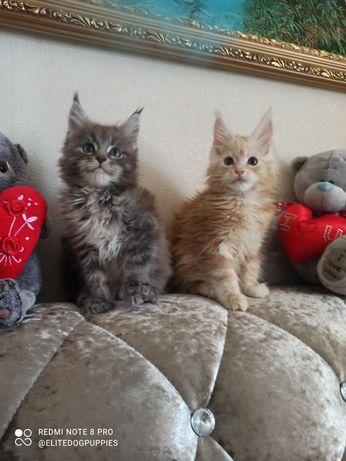 Шикарные котики Мейн кун