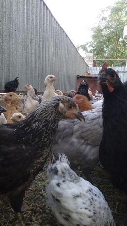 Продаются 3х месячные цыплята