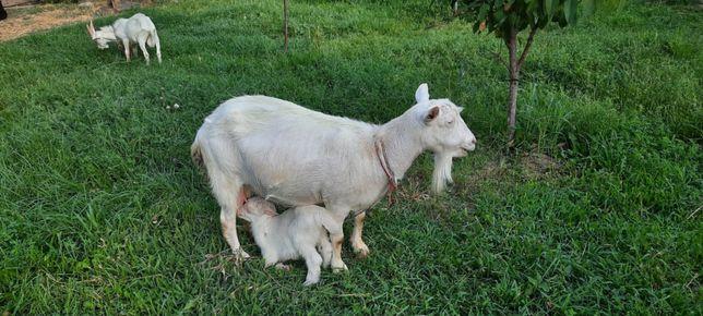 Продам заненских Коза и 2 козлят
