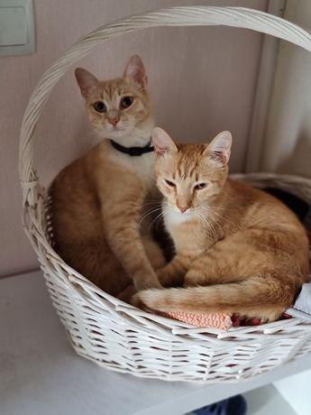 Отдам годовалых котов