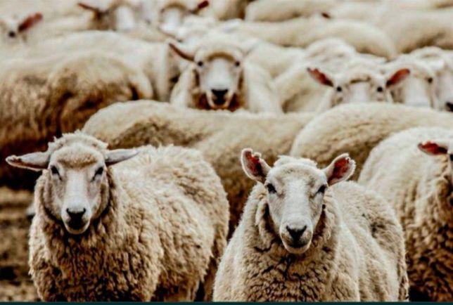 Продам баранов и овец