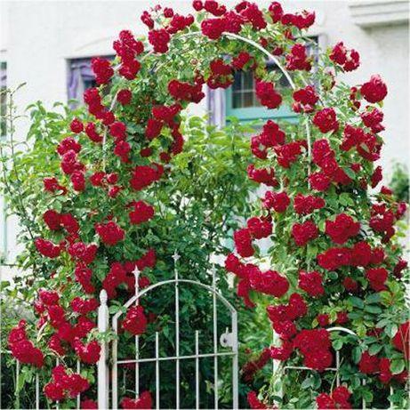 Влачеща Роза (ПРОМОЦИЯ)-6цвята
