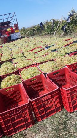 Vând struguri de vin recoltați în lădițe avem următoarele soiuri