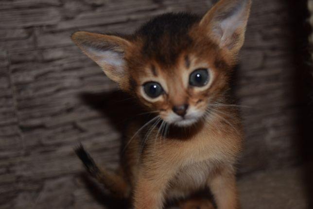 Абиссинские котята ждут вас